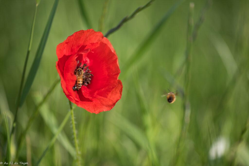Macrophotographie coquelicot & abeilles