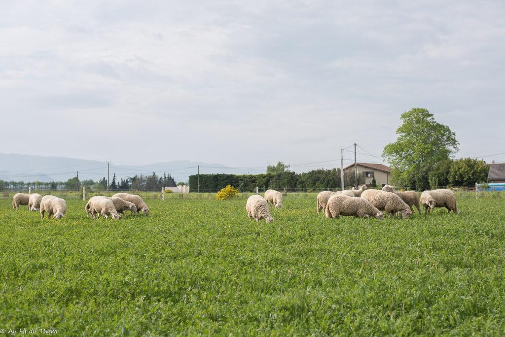 Brebis en pâture / Vis ma vie d'exploitant bio fromager éleveur