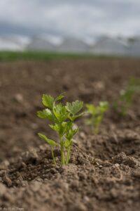 herbier du potager : céleri branche