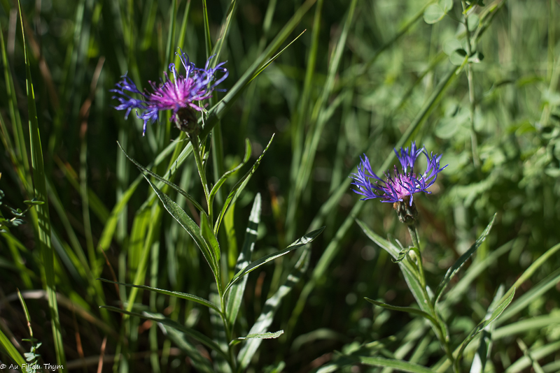 Herbier des champs et forêts – Fleurs bleues & violettes