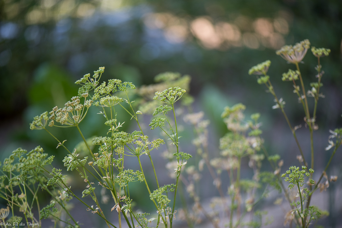 Récolter les graines : attendre que le persil monte en fleur