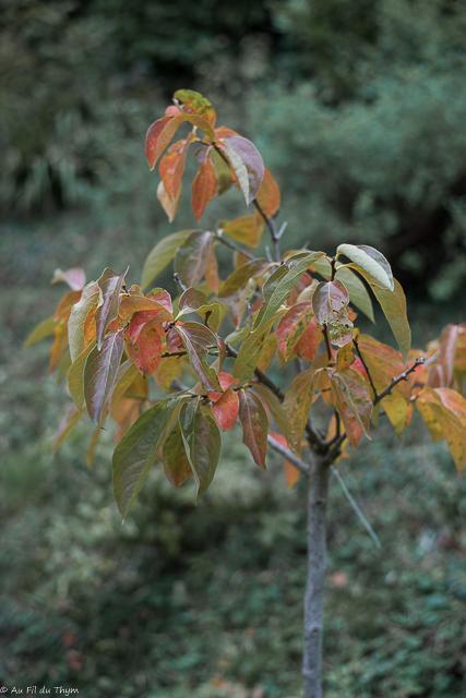 Idées arbres colorés automne : le plaqueminier