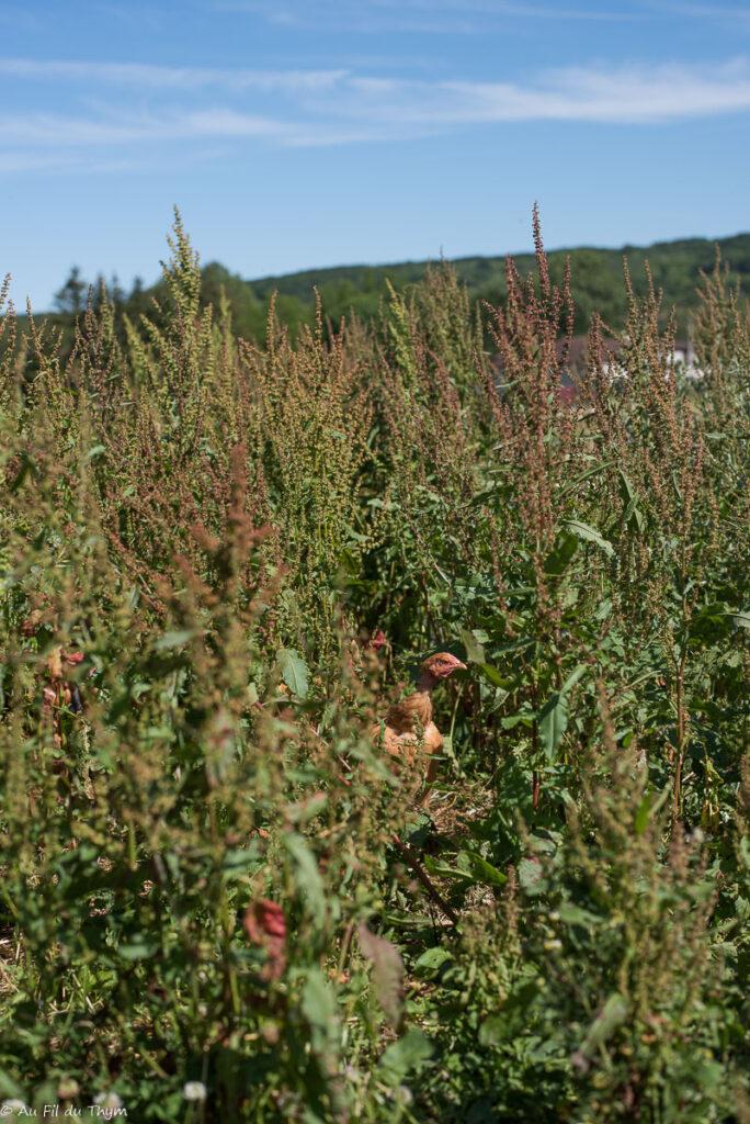 Agriculture bio élevage de volailles