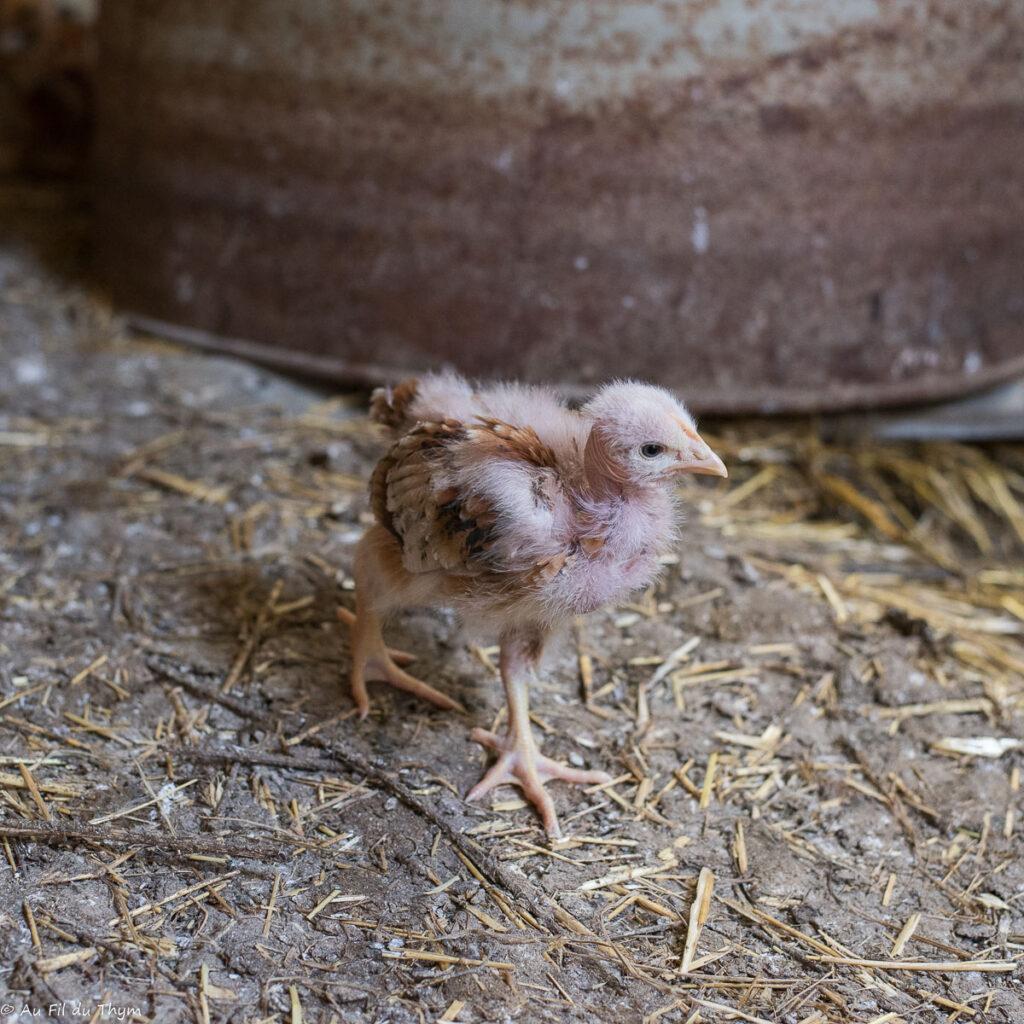 Agriculture bio élevage de volailles : Petit poussin