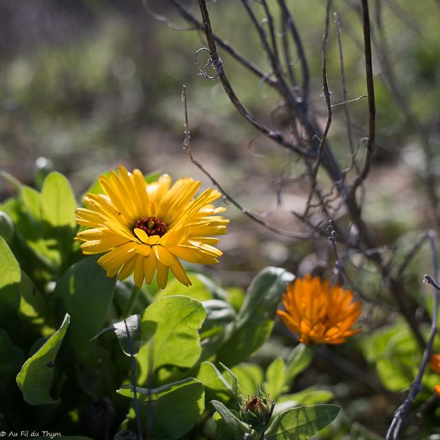 fleur semer terrasse balcon : Le soucis