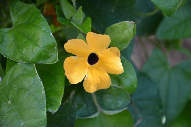 fleur semer terrasse balcon : La suzanne aux yeux noirs
