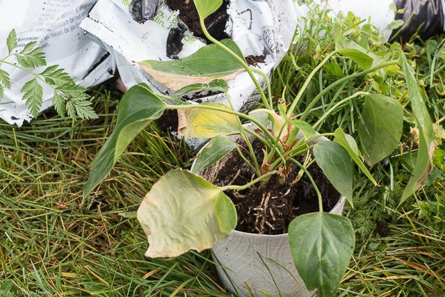 Astuces entretien plantes intérieur - rempotage
