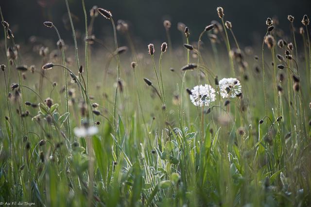 A la découverte des fleurs des champs (5) (Juin)