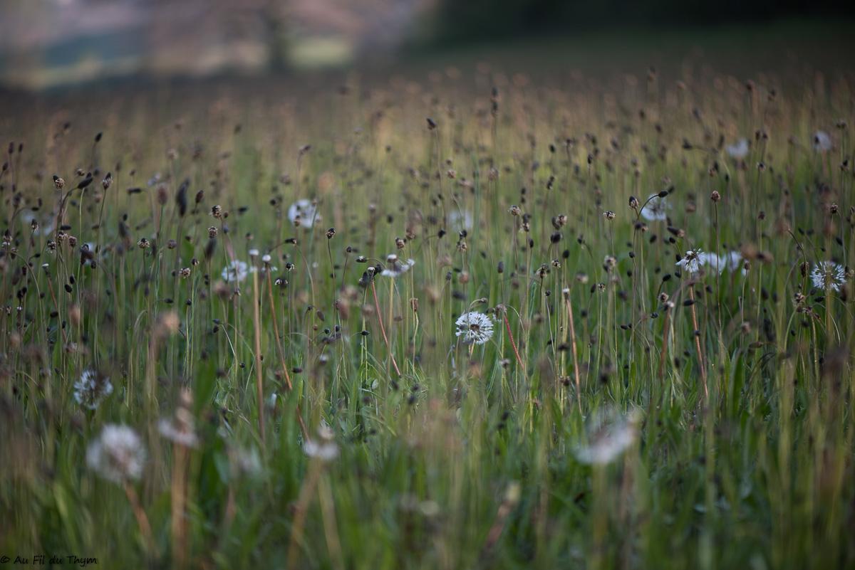 A la découverte des fleurs des champs (2) (Début avril)