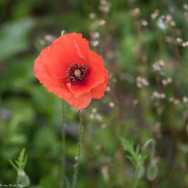 fleurs des champs : coquelicot