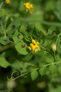 découverte fleurs des champs : Luzerne d'arabie