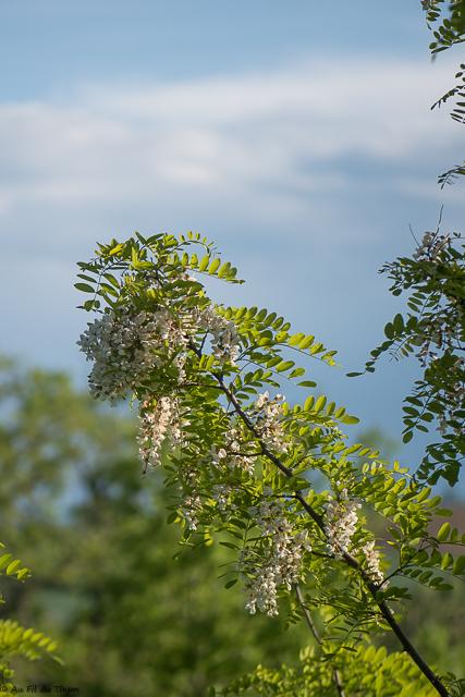 découverte fleurs des champs : le robinier faux accacia