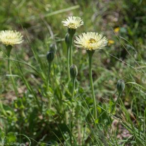 découverte fleurs des champs : Urosperme de Daléchamp