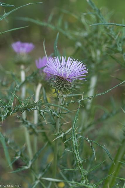 Chardon laineux : Découverte fleurs des champs