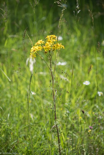 Sénéçon jacobée : Découverte fleurs des champs