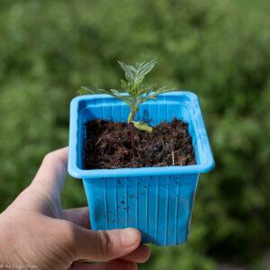 Traitements naturels potager : planter des oeillets