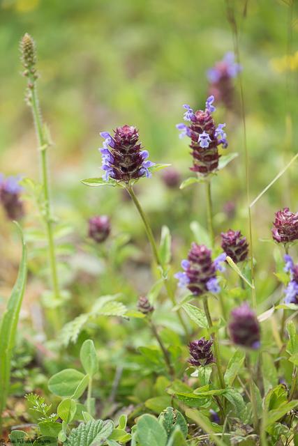 fleurs des champs été : brunelle commune