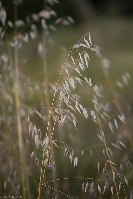 fleurs des champs été : Folleavoine