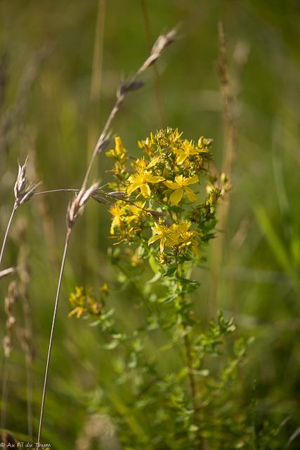 fleurs des champs été : millepertuis perforé