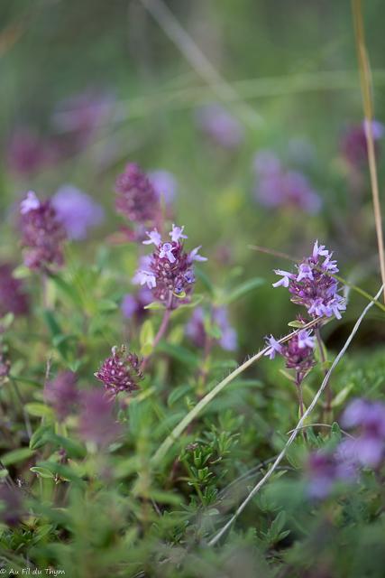 fleurs des champs été : thym serpolet