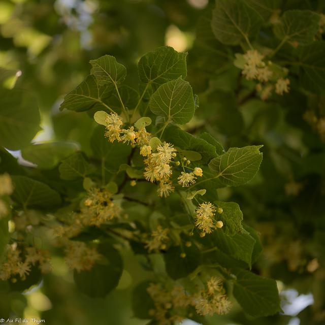 fleurs des champs été : millepertuis perforé : tilleul