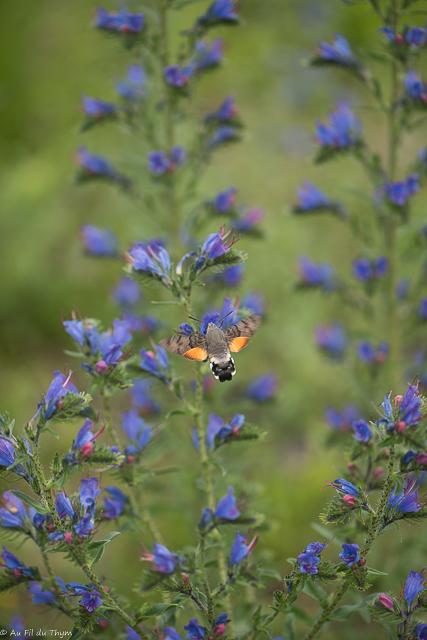 fleurs des champs été : vipérine