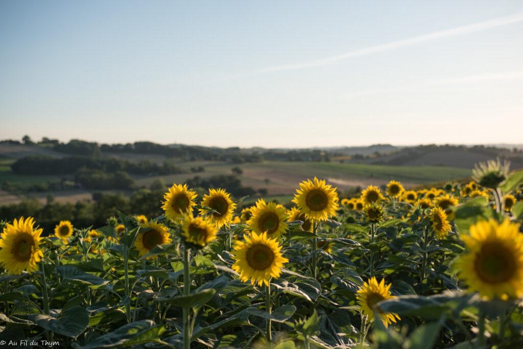 paysages savès : tournesols en été