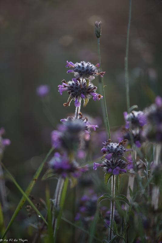 Sarriette commune - fleurs des champs été