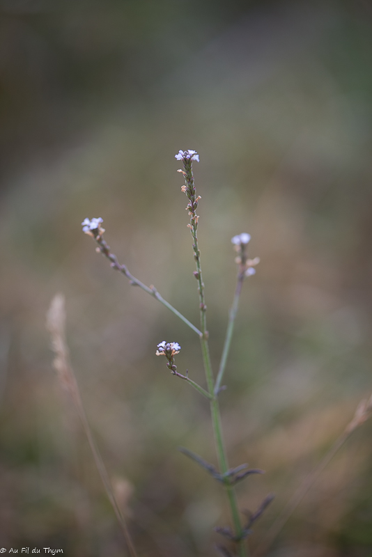 Verveine officinale - fleurs des champs été