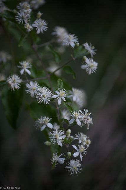 fleurs des champs août : clématite vigne blanche