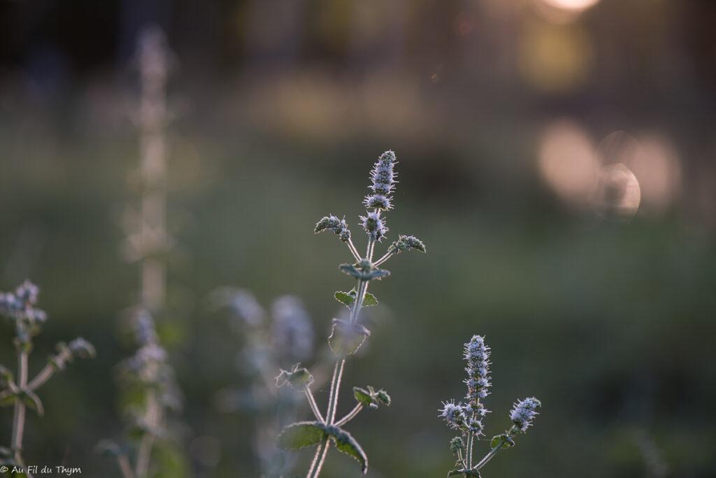 fleurs des champs août : Menthe à feuilles rondes