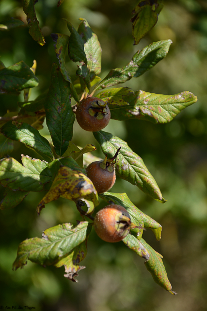 Balade haies champêtres automne - nèfles