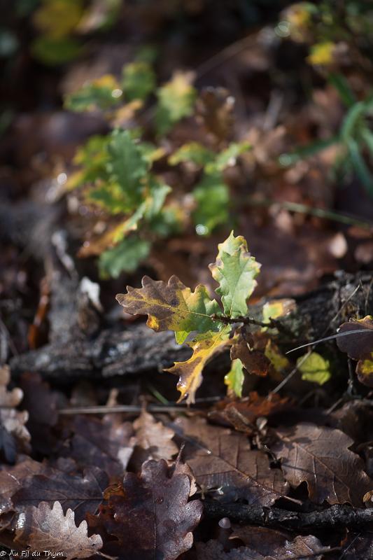 Noël dans le Gers : jeunes chênes