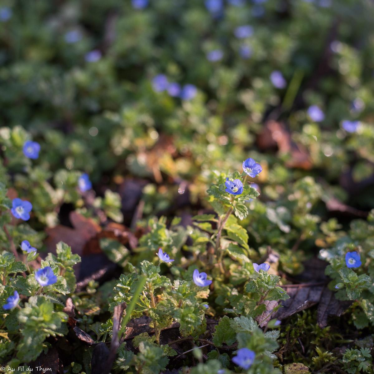 balade botanique février : Véronique de perse