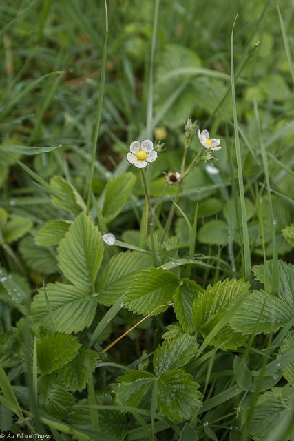 balade botanique avril 2021 - fraise des bois