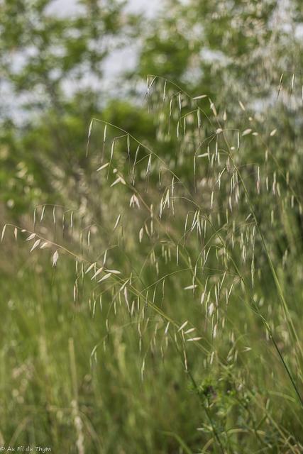 balade botanique mai 2021 : Folleavoine