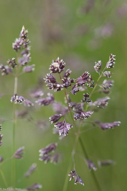 balade botanique mai 2021 : Paturin des prés
