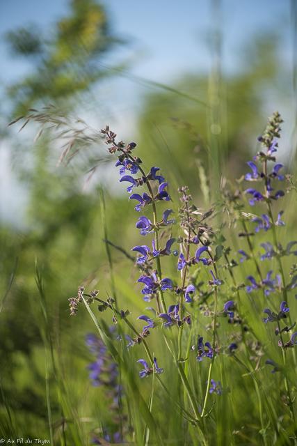 balade botanique mai 2021 : Sauge commune